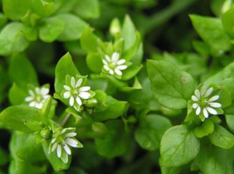 Мокрица: для растений сорняк, для человека лекарь