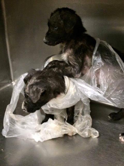 История щенков, которых нашли связанными в мусорном пакете