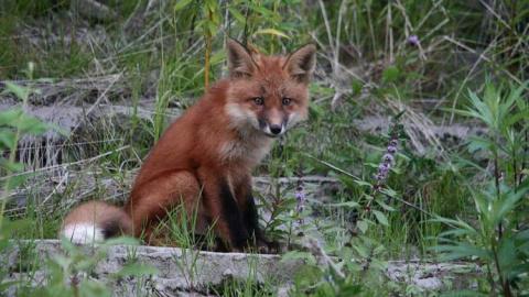 Хитрые лисы Аляски съели еду рязанских путешественников