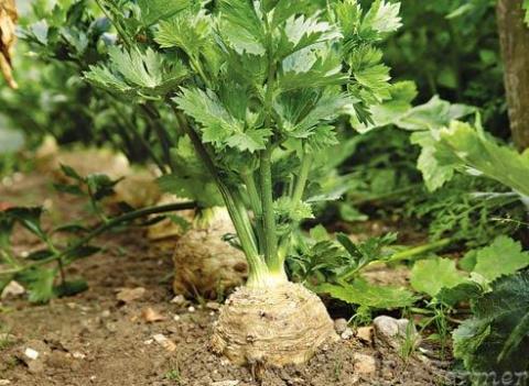 Ныне модный сельдерей - выращивание, рецепты
