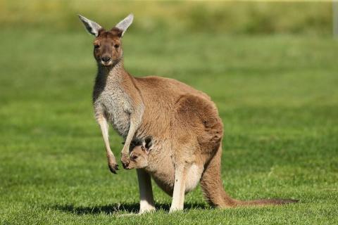 Бляяяя!!! Да это уже за гранью!!! Парламент Австралии разрешил делать операции по смене пола кенгуру