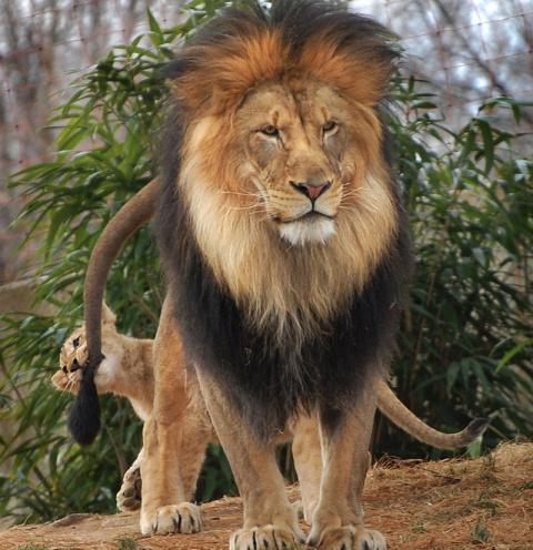 Лев не рассчитал силы во вре…