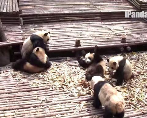 Массовая драка панд в зоопарке