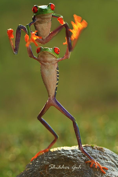 Лягушачье кунг фу фотографа Shikhei Goh