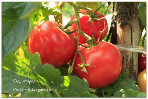 Подкормка томатов в период п…