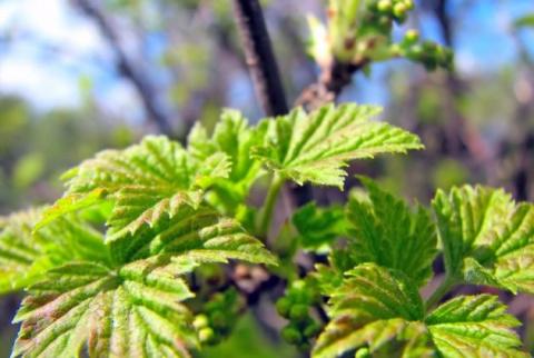 Усыхание ветвей смородины: как распознать заболевание