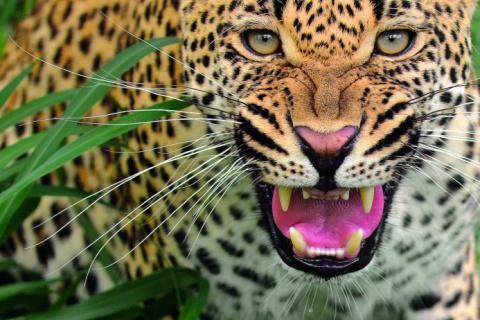 Леопарды в снимках Сергей Горшкова