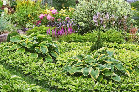 Хосты: идеи использования в саду