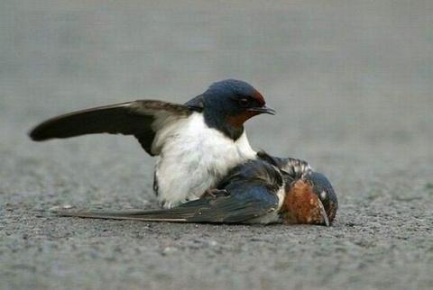 История птичьей верности.....