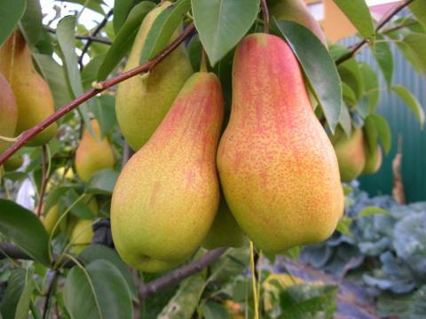Пять самых вкусных зимних сортов груш