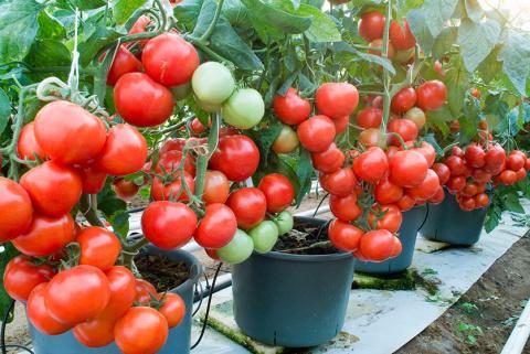 Как продлить жизнь кусту помидора и увеличить урожай