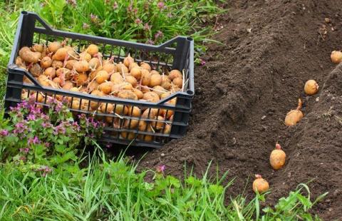 Андрей Туманов: картошка любит дачника-новичка