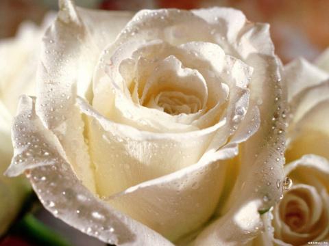 Нежная роза. Притча об испытании любви