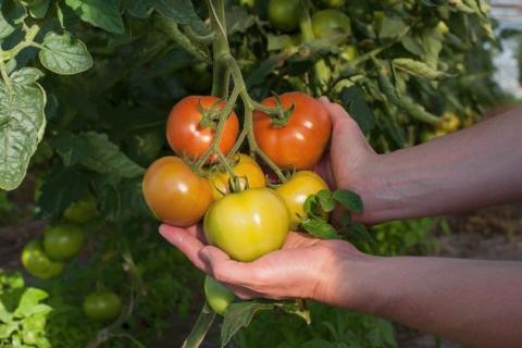 Урожайные томаты: 12 хитростей опытного огородника