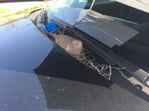 Горлица устроила гнездо на п…