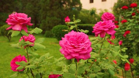 Все вредители и болезни розы и как с ними бороться.  Сельдерей - необыкновенные лечебные свойства!
