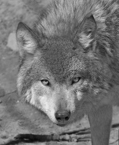 взгляд одинокого волка