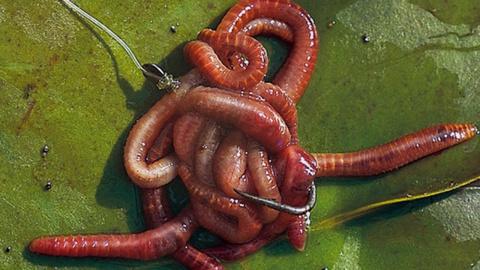 Секрет уловистых червей! Готовим червей к рыбалке Правильно!