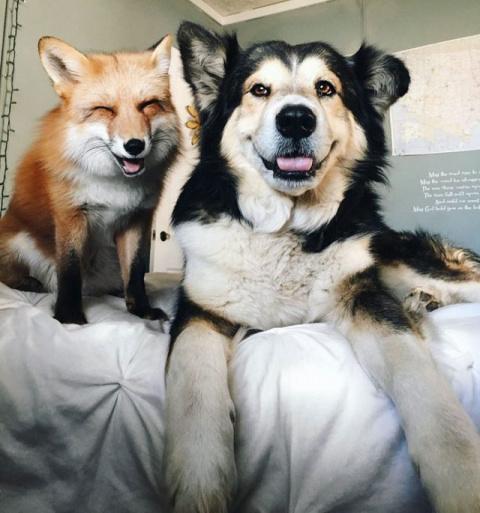 Лиса и собака стали лучшими друзьями