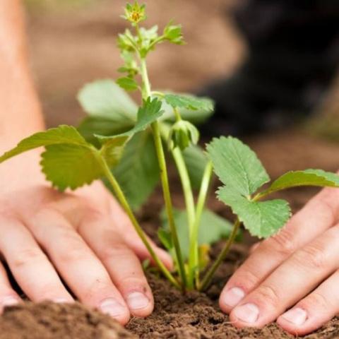 Летняя посадка клубники. Какие овощи можно выращивать в тени?