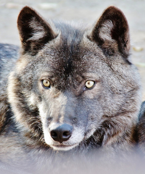 Портрет ... серого волка
