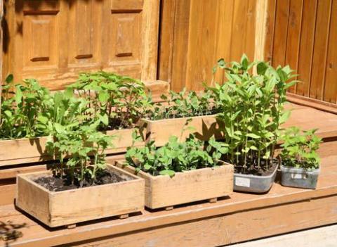 Три ошибки огородника при закалке рассады