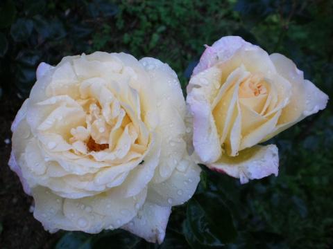 Осень.Последние розы.