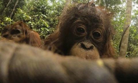 Орангутан нашел в лесу спрят…