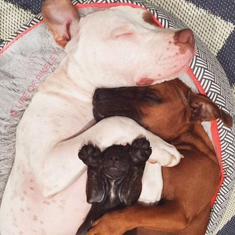 Взрослые псы опекают щенка-сироту