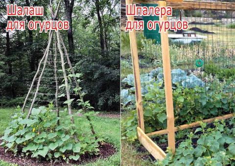 Особый способ выращивания огурцов