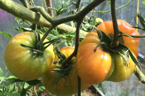 Томаты: тонкости выращивания в теплице