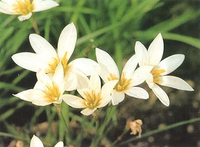 Наши любимцы-цветы: Выскочка — цветок зефира