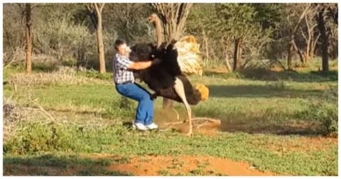 Разъярённый страус побил туриста на ферме в ЮАР