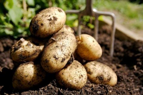 Как поторопить картофель