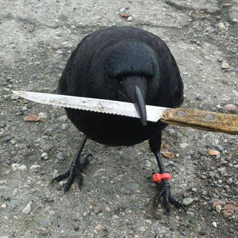 Канадская ворона-рецидивист похитила улику с места преступления