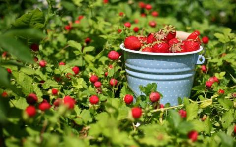 Способы увеличения урожая земляники