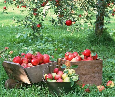 Финские яблоки в садах Ленинградской области