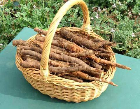 Овсяный корень - красивое и полезное растение на вашем огороде