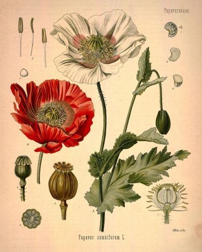 Лекарственное растение мак снотворный