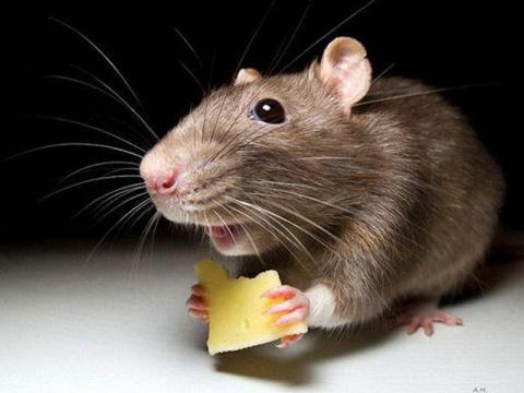 25 интересных фактов о крысах