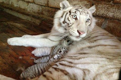 В Ялте Тигрюля опять родила четырех котят