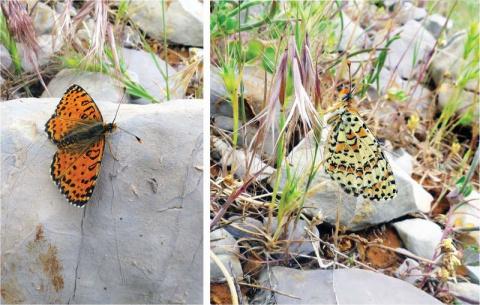 В Израиле спустя 109 лет открыли новый вид бабочек