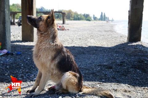 Москвич на отдыхе в Абхазии потерял овчарку, пес ждет хозяина 2 года