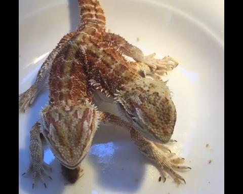 Двуглавая ящерица обедает. Оригинальное видео
