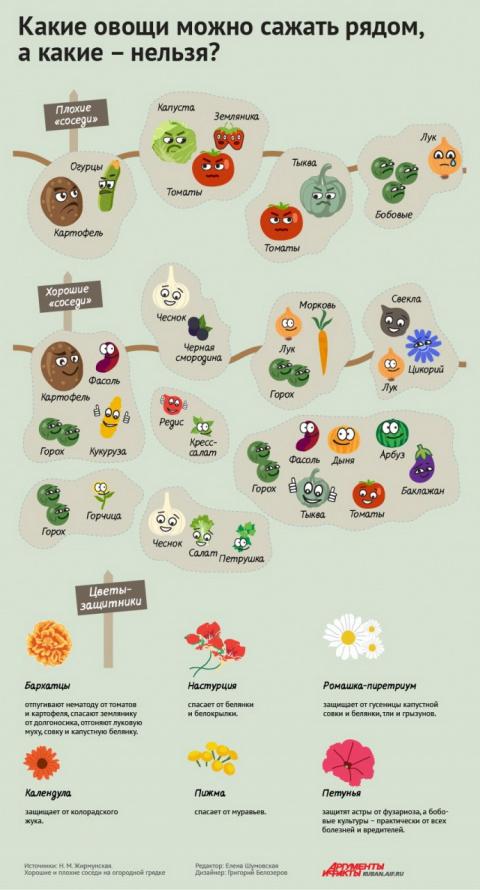 Порядок на грядках: какие растения несовместимы друг с другом. Инфографика