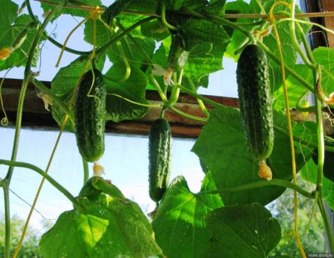 Лучшие соседи для огурцов - легкий способ повысить урожай!