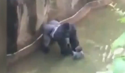 Американцы встали на защиту убитой из-за ребенка гориллы
