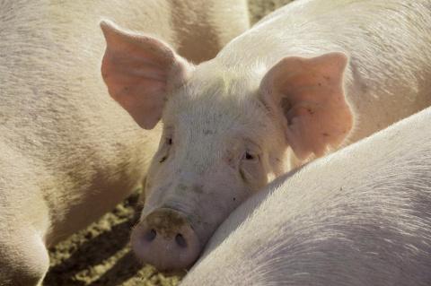 Свиньи так же умны, как соба…