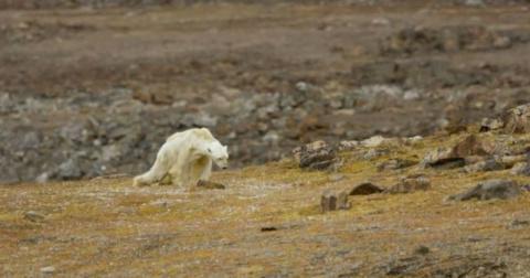 До слез: последние моменты жизни белого медведя, обессилевшего от голода