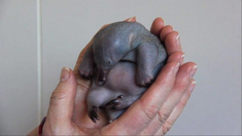 Крошечный и лысый: попробуйте угадать, что это за очаровательный малыш